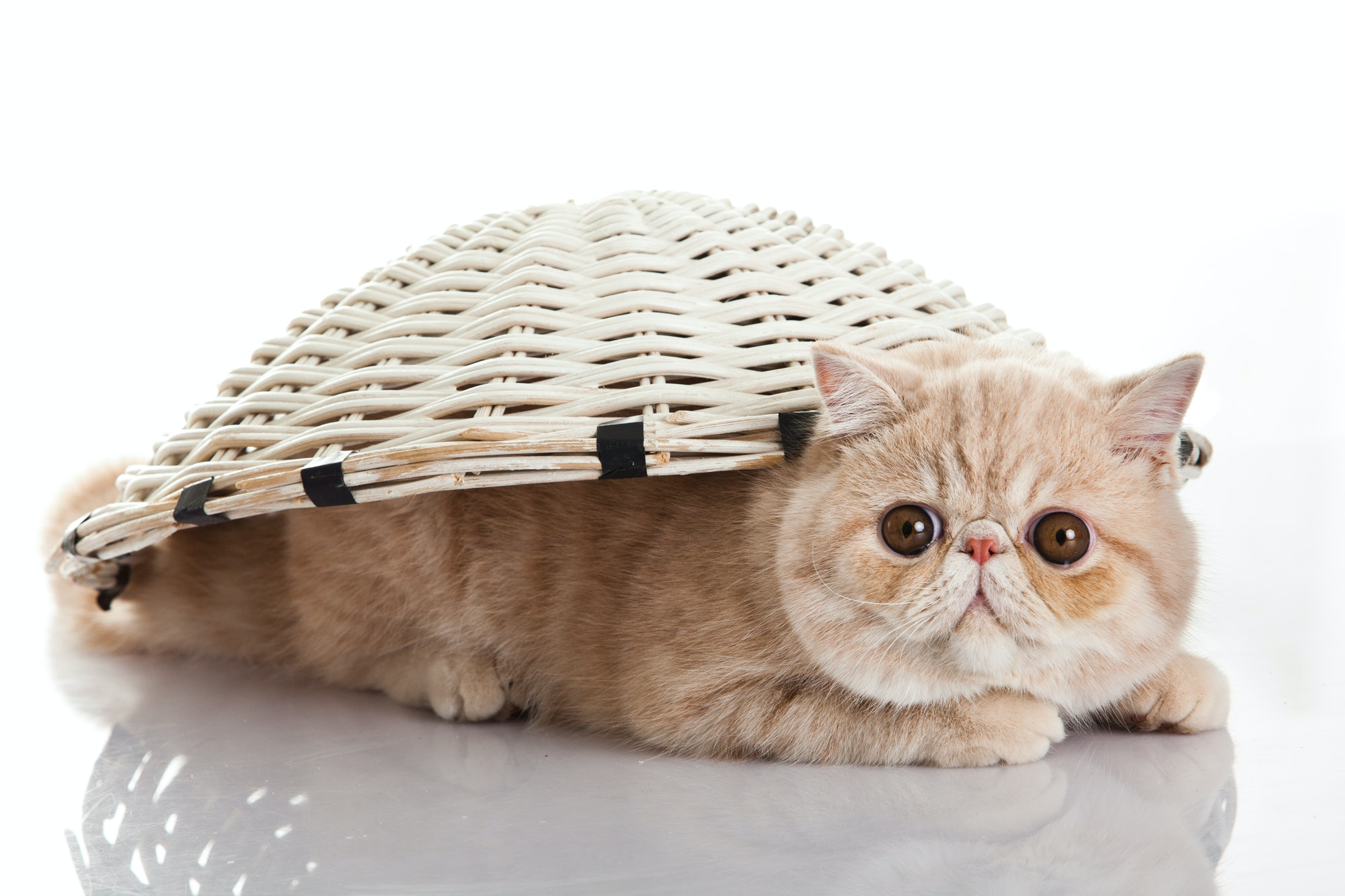 Exotic shorthair cat. Funny playful cat